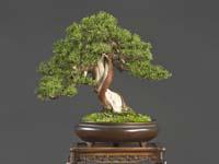 Bonsai Verenigingen