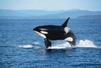 Dolfijnen en Orka
