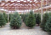 Kerst Bomen