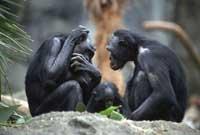 Apen Bonobo