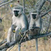 Afrikaanse_apen