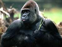 Gorilla apen