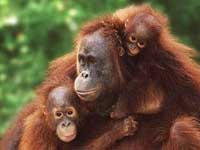 Orang-oetans apen