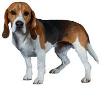 Beagle fokkers Brazilie