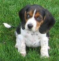beagle fokkers Canada