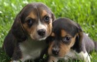 beagle fokkers Frankrijk
