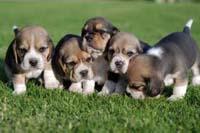 beagle fokkers italie