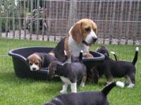 beagle fokkers Nederland