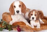 beagle fokkers Oostenrijk