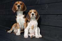 beagle fokkers Tsjechie
