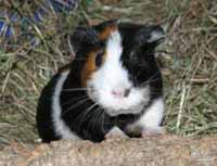 Cavia fokkers Noord Holland